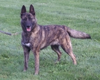 "Dutch Shepherd ""LaBelle"" (P1 PA FO GRCH Marshall's LaBelle of Cher Car CGC - UKC TOP 10 Dutch Shepherd 2007 #1, 2008 #2 tied, 2009 #2, 2010 #1)"