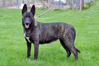 "Dutch Shepherd ""Snap"" (URO3 UCD UAGI UJJ GRCH Cher Car's Snap Decision BH CSAU CGC - UKC #8 tied Dutch Shepherd Dam, UKC TOP 10 Dutch Shepherd 2008 #10, 2010 #4 tied, 2012 #2, 1st Dutch Shepherd titled in 4 UKC venues of conformation, obedience, agility & rally)"