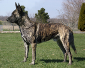 "Dutch Shepherd ""Becker"" (UJJ  UAGII  URO3 CH Cher Car's It's My Perogative CSAU CGC - UKC #7 Dutch Shepherd Sire, UKC TOP 10 Dutch Shepherd 2008 #5 tied)"