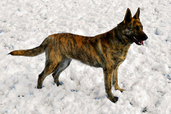 "Dutch Shepherd ""Cayenne"" (BIMBS CH Cher Car's Roja Caliente - 1st Dutch Shepherd awarded BEST in MULTI BREED SHOW)"