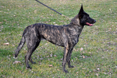 "Dutch Shepherd ""Luna"" (RBIMBS UCD UAGI URO1 UWP CA GRCH Luna van Cher Car- UKC TOP 10 Dutch Shepherd 2011 #3, 2012 #1, 1st Grand Champion Dutch Shepherd ""Superdog"" titled in 5 UKC venues of conformation, obedience, agility, rally and weight pull)"