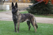 "Dutch Shepherd ""Nada"" (UAGI CH Cher Car's Don't Be Fooled CSAU BTr CGC - UKC TOP 10 Dutch Shepherd 2010 #7 tied)"